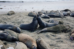 Fight of sea elephants. On the beach in California Royalty Free Stock Photo