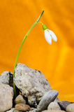 Fight of a Snowdrop Royalty Free Stock Photography