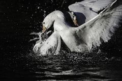Fight for territory during mating season in british pond. Two male white gooses fighting for territory in british pond during mating season.Low key image of royalty free stock photo