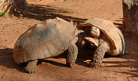 Fight turtles Royalty Free Stock Photo