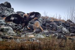 Fight between two animals, golden eagle vs. golden jackal. Bird behaviour in the habitat, rocky mountain with stones, Rhodopes, stock photo