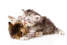 Fight between two british kittens. isolated on white background Royalty Free Stock Image