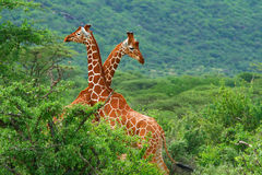 Fight of two giraffes. Africa. Kenya. Samburu national park stock image