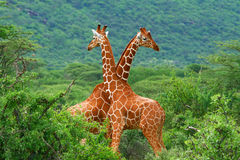 Fight of two giraffes. Africa. Kenya. Samburu national park stock photography