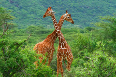 Fight of two giraffes. Africa. Kenya. Samburu national park royalty free stock image