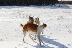 Fight of two hunting dogs of a dog and a gray wolf in a snowy field stock photo