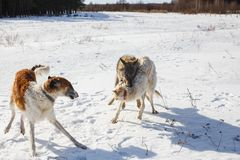 Fight of two hunting dogs of a dog and a gray wolf in a snowy field royalty free stock photo