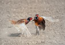 Fighting male angry pheasants royalty free stock photography