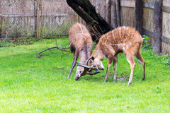 A fight between two male antelope Sitatunga Stock Images