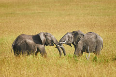 Fight between two male elephants Royalty Free Stock Photography