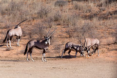 Fight between two male Gemsbok, Oryx gazella. Dominant Gemsbok antelope in the park, Kalahari, South Africa Stock Image