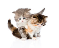Fight between two scottish kittens. isolated on white background Stock Photography