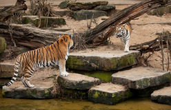 Fight of two siberian tigers. Two siberian tigers just about to fight Royalty Free Stock Images