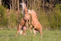 Fight of two stallions Royalty Free Stock Images