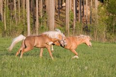 Fight of two stallions Royalty Free Stock Photography