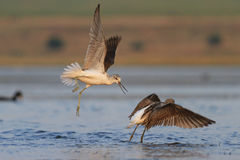 Fight two waders. Flying, waterbirds, estuary autumn migrationCommon greenshank Stock Image