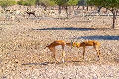 Fight of two young antelopes in a safari park on Sir Bani Yas Island, Abu Dhabi, UAE stock photos