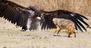 Fight between vulture and wild dog in Africa. Rivalry or conflict between a large vulture and wild dog. Wild animals in Ngorongoro, Tanzania Stock Photos
