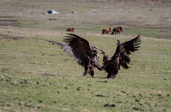 Fight of vultures. Fight of two vultures in Mongolian steppe Royalty Free Stock Photos