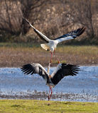 The fight of the White Storks Royalty Free Stock Photos