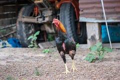 Fightcock в Таиланде Стоковые Фотографии RF