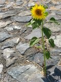 Fighter. Tall sunflower growing through cracks in the pavement. sense of battle. three quaters photo is rock and concrete one quater is long stemmed sunflower Royalty Free Stock Photo