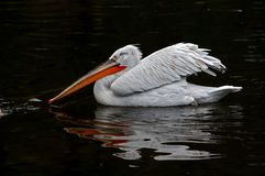Fighter. Dalmatian pelican on the black water stock photo
