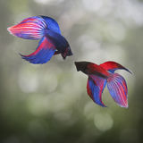Fighter concept using Two Siamese fighting fish. Copy space. Fighter concept using Two Siamese fighting fish on bokeh background. Copy space Stock Images