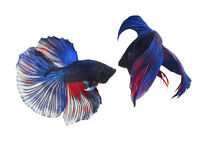 Fighter concept using Two Siamese fighting fish. On white background. Copy space Royalty Free Stock Images