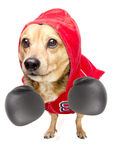 Fighter dog Stock Photography