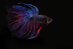 Fighter fish. Blue and red fighter fish Royalty Free Stock Images