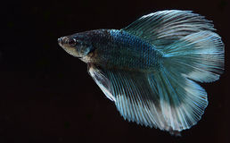Fighter fish. Blue and red fighter fish Royalty Free Stock Photos