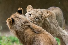 fighthing幼小的狮子 库存图片