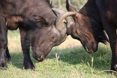 Fighting African Buffalo Stock Image