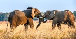 Fighting African elephants in the savannah at sunset Stock Photo