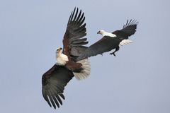 Fighting African Fish Eagles Stock Photos