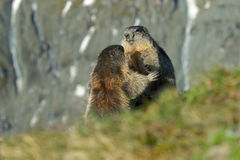 Fighting animals Marmot, Marmota marmota, in the grass with nature rock mountain habitat, Alp, Austria Stock Images