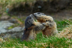 Fighting animals Marmot, Marmota marmota, in the grass with nature rock mountain habitat, Alp, France Stock Images