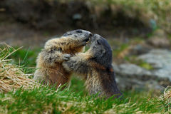 Fighting animals Marmot, Marmota marmota, in the grass with nature rock mountain habitat, Alp, France. Europe Royalty Free Stock Photography