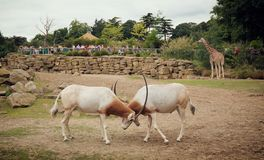 Fighting antelope Mount Kenya National Park Stock Photo