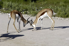 Fighting antelopes - impallas Stock Image