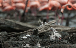 Fighting Baby birds of the Caribbean flamingo. Stock Photography