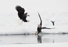Fighting of Bald eagles (Haliaeetus leucocephalus). Bald eagles (Haliaeetus leucocephalus) fighting for food royalty free stock images