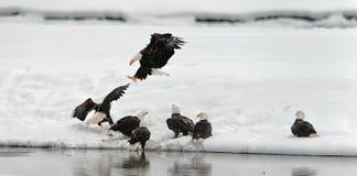 Fighting of Bald eagles (Haliaeetus leucocephalus) Stock Image