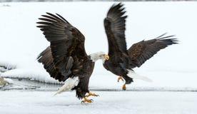Fighting Bald Eagles. Haliaeetus leucocephalus washingtoniensis  in flight. Alaska in snow Stock Image