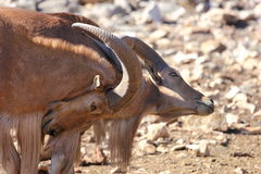 Fighting Barbary Sheep, Aoudads Stock Photography