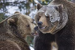 Fighting bears Royalty Free Stock Image