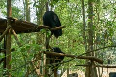 Fighting bears at the bear rescue center Free the bears in Kuangsi, next to kuangsi waterfall , Laos stock photo