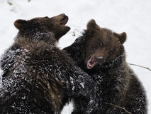Fighting Bears ( Ursus arctos ) stock photography