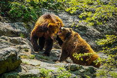 Fighting bears. In the wild Stock Images